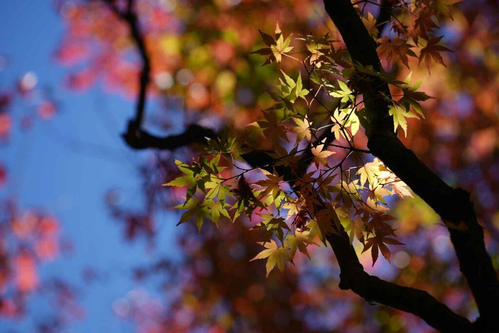 福壽山農場楓葉