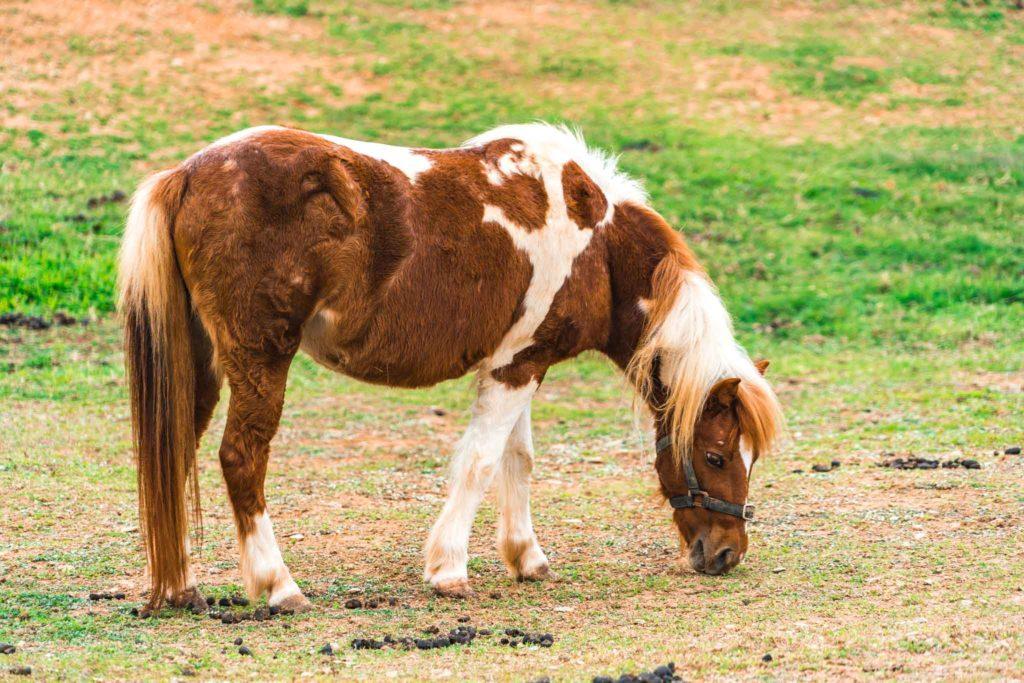 初鹿牧場的馬